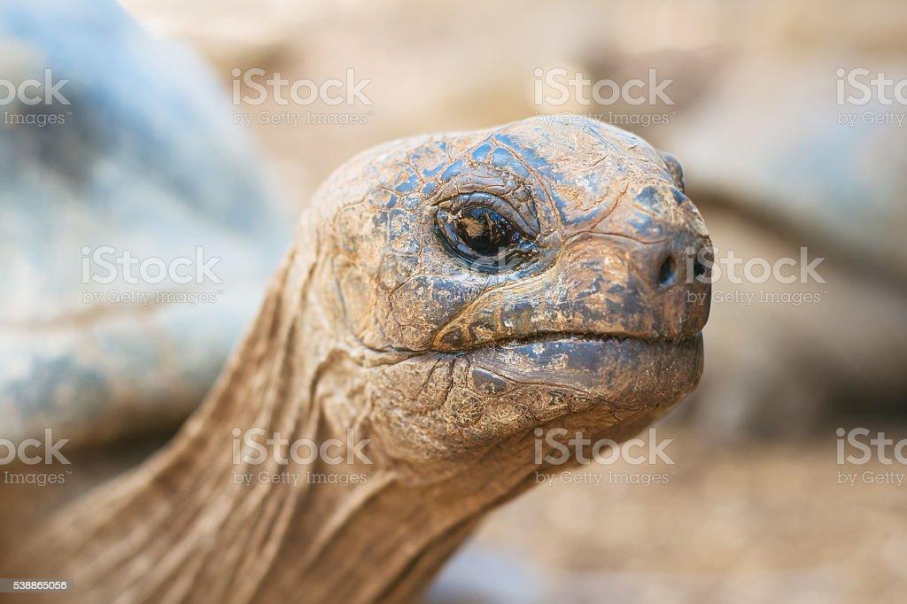 Giant grey tortoise, close-up stock photo