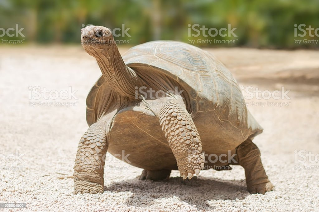 Giant grey tortoise stock photo