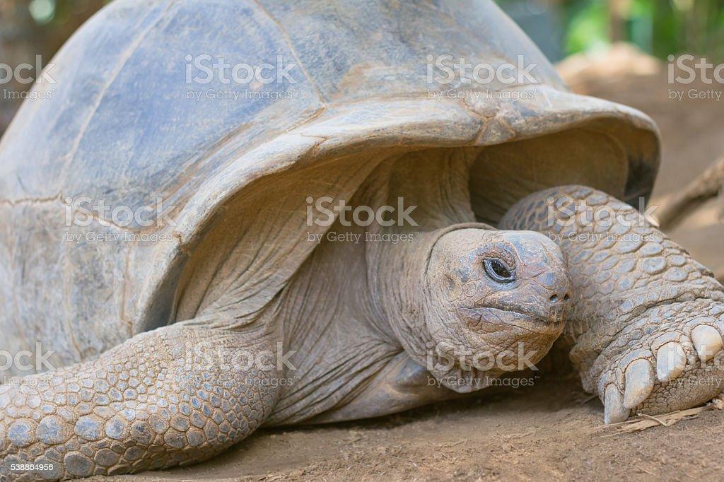 Giant grey tortoise standing stock photo