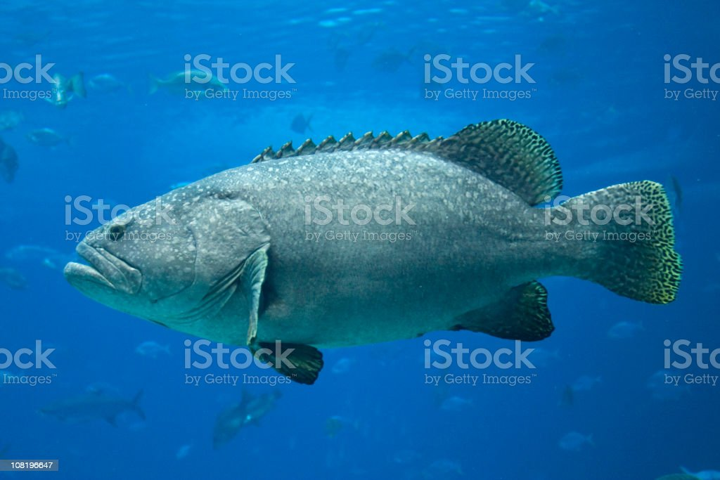 Giant Grouper stock photo