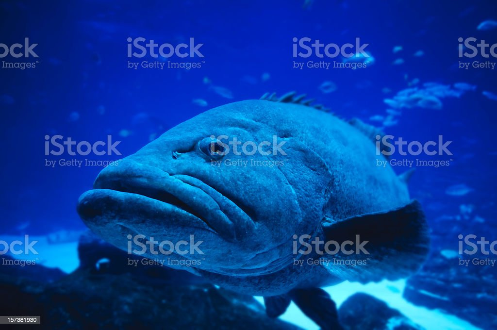 Giant Grouper royalty-free stock photo