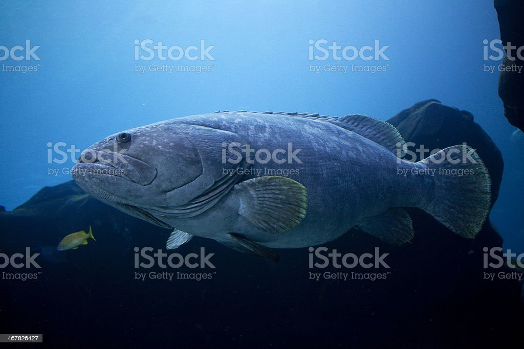 Giant Grouper royalty-free stock photo