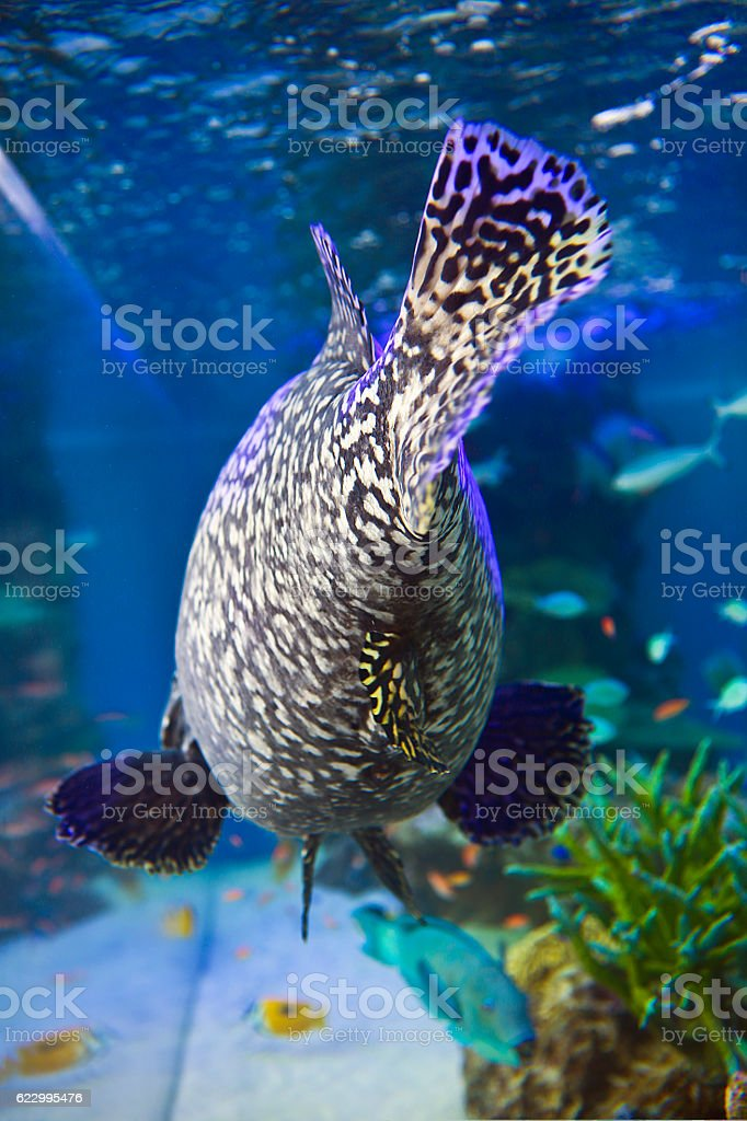 Giant Grouper Rearview stock photo