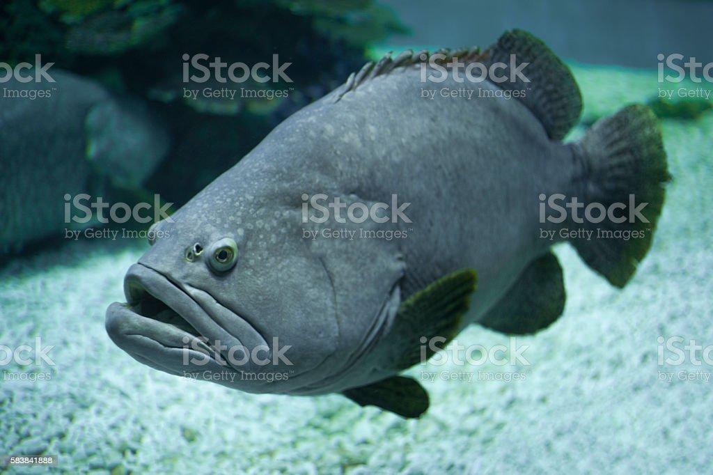 Giant grouper under water, aquarium stock photo