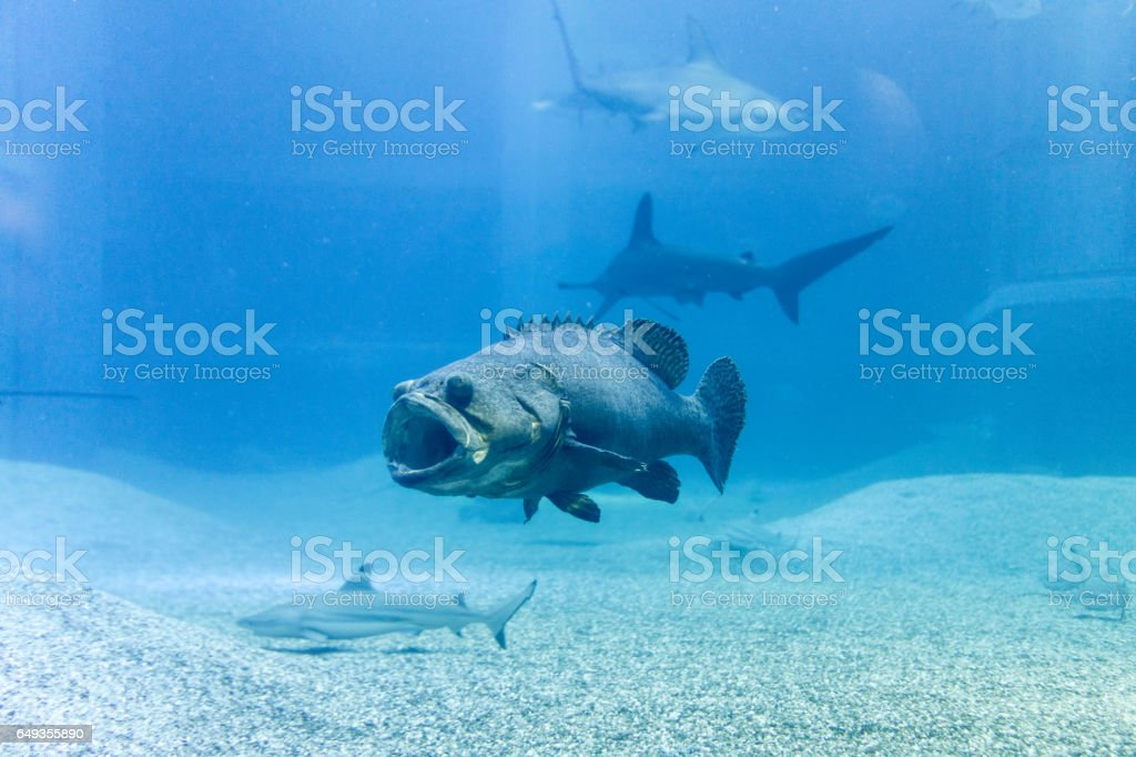 Giant grouper with shark in blue sea stock photo