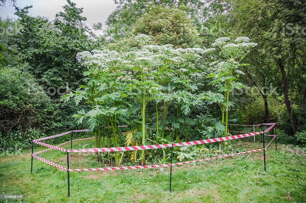 giant hogweed dangerous plant England summer stock photo