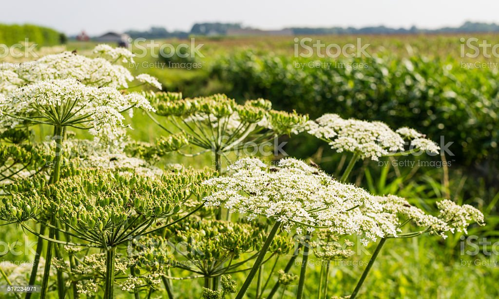 Giant Hogweed on the edge of a field stock photo