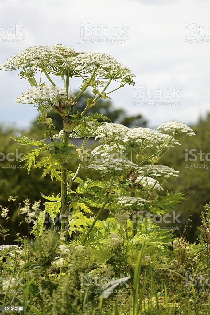 Giant Hogweed (Heracleum mantegazzianum) stock photo
