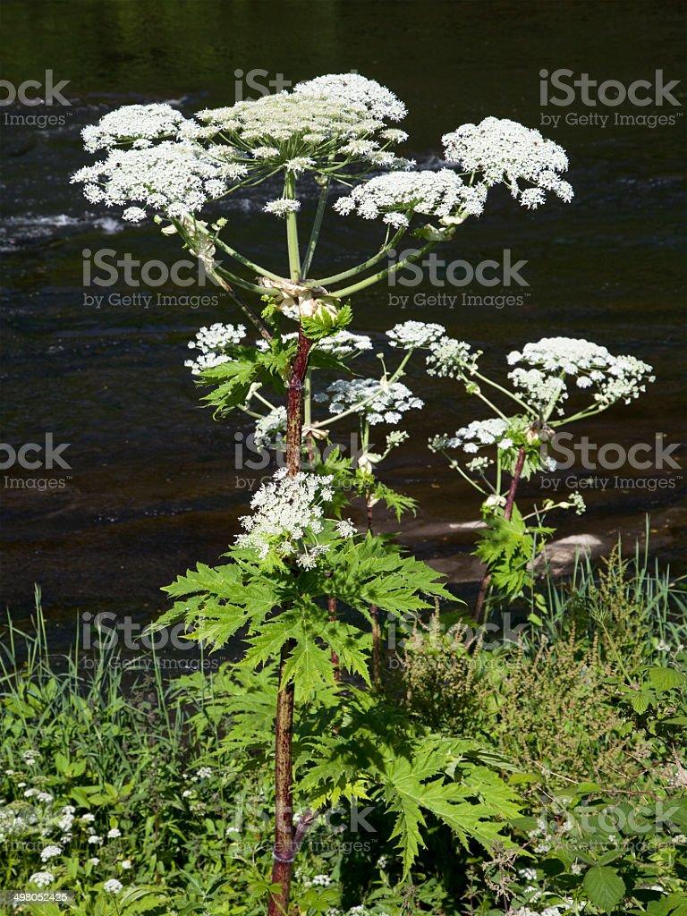 Giant Hogweed Plant stock photo