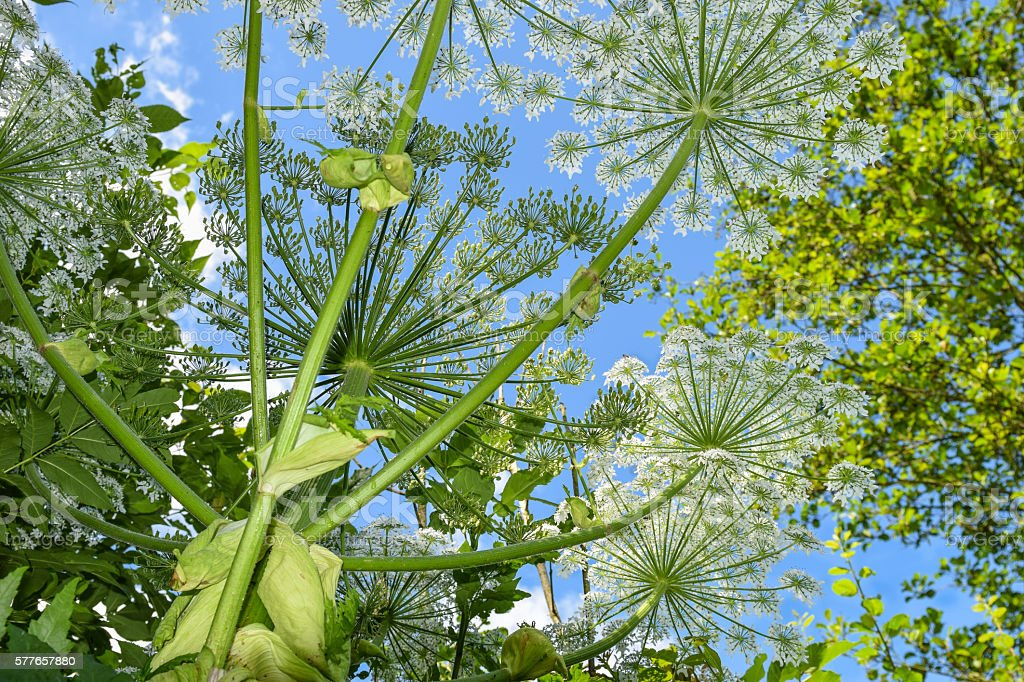 Giant hogweeds, Heracleum mantegazzianum stock photo
