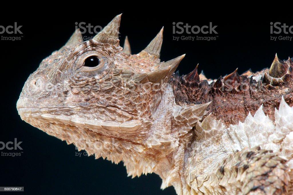 Giant horned lizard / Phrynosoma asio royalty-free stock photo