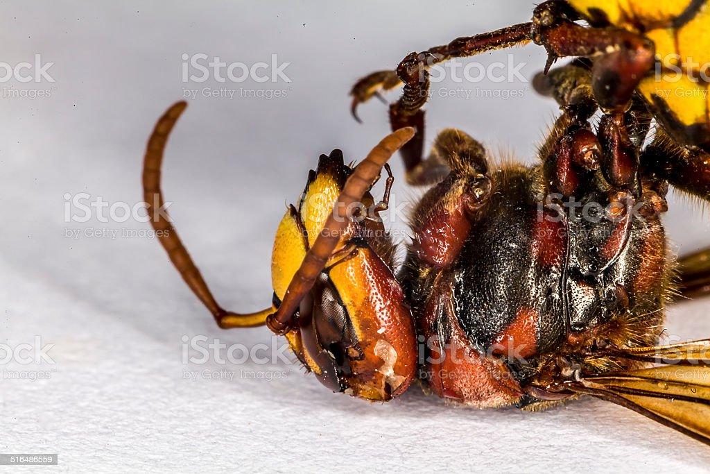 Giant Hornet stock photo