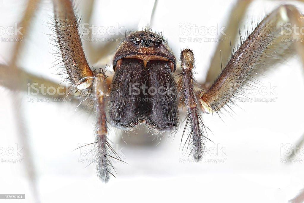 Giant House Spider stock photo