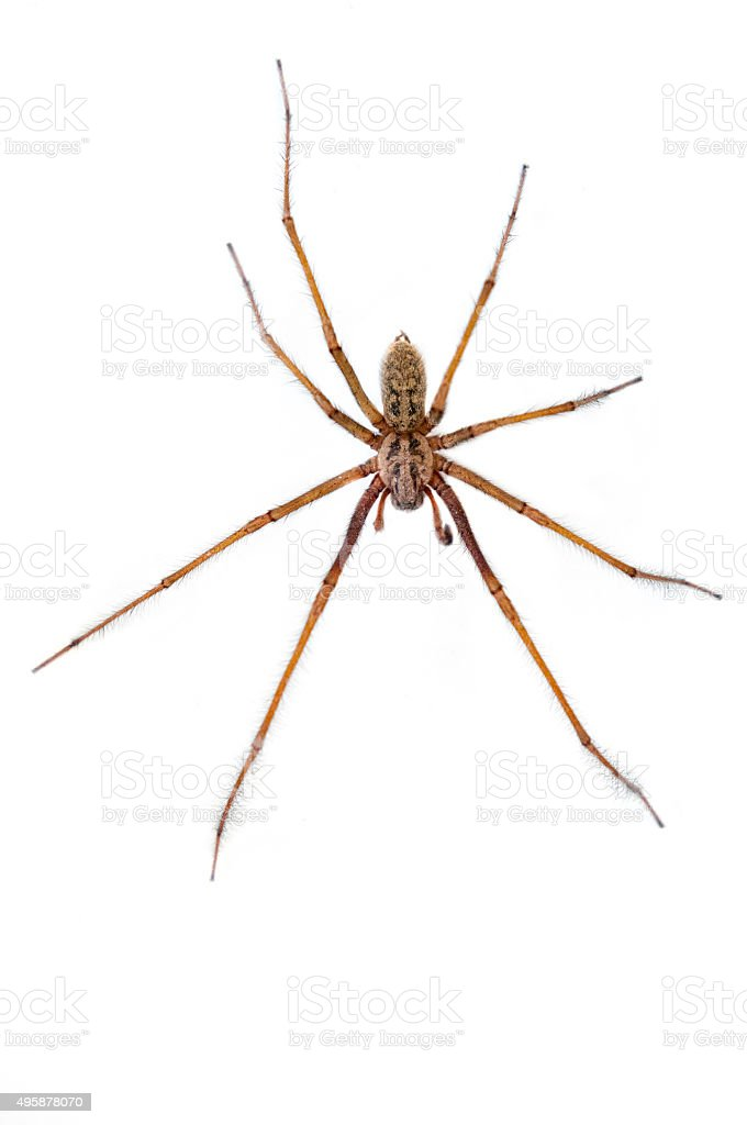 Giant House Spider stock photo