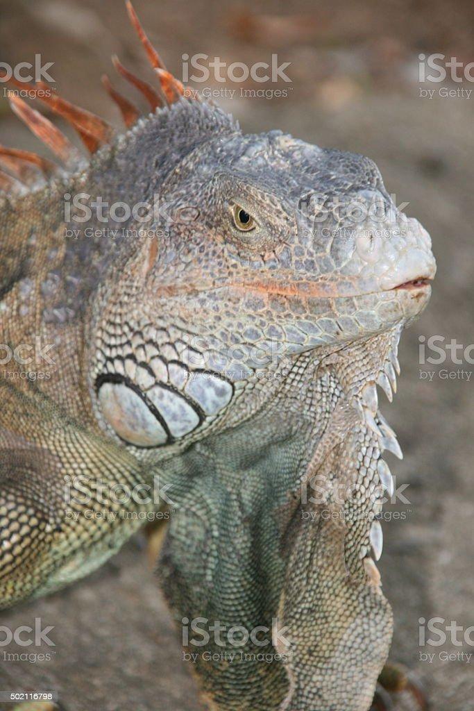 Giant Iguana - Roatan stock photo