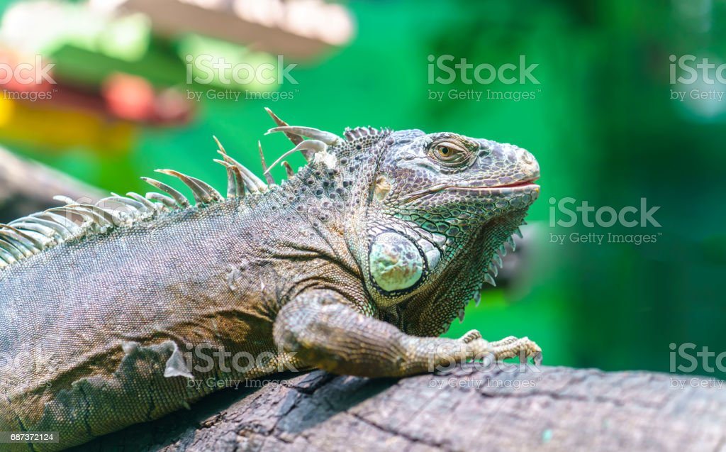 Giant iguana with its large body is full of scaly dinosaur survivor and preserved in the zoo to this day. stock photo