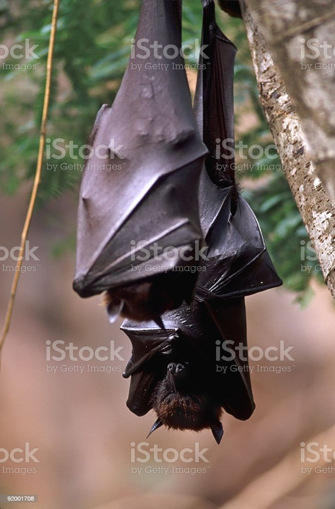 Giant Indian Fruit Bats royalty-free stock photo