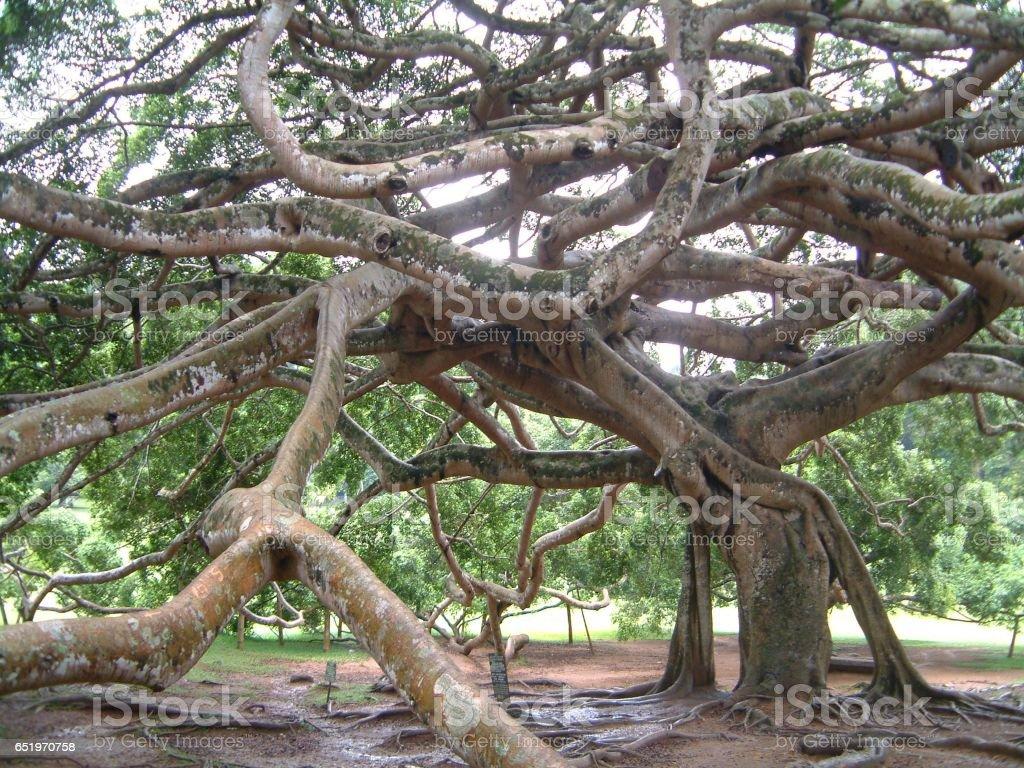 Giant Javan Fig Tree stock photo