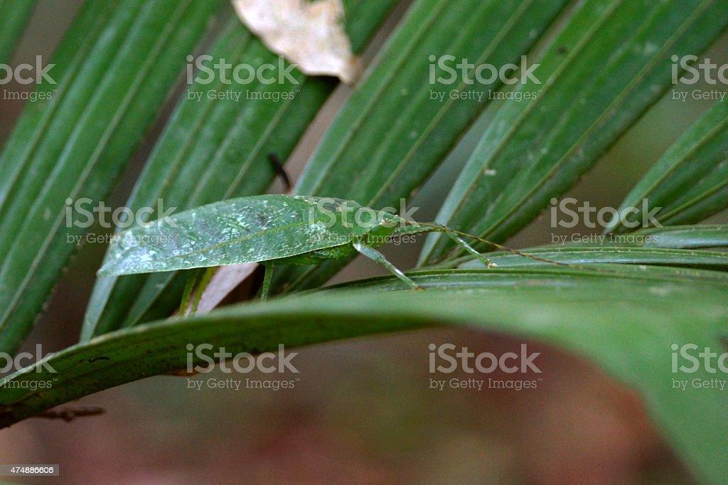 Giant Katydid stock photo