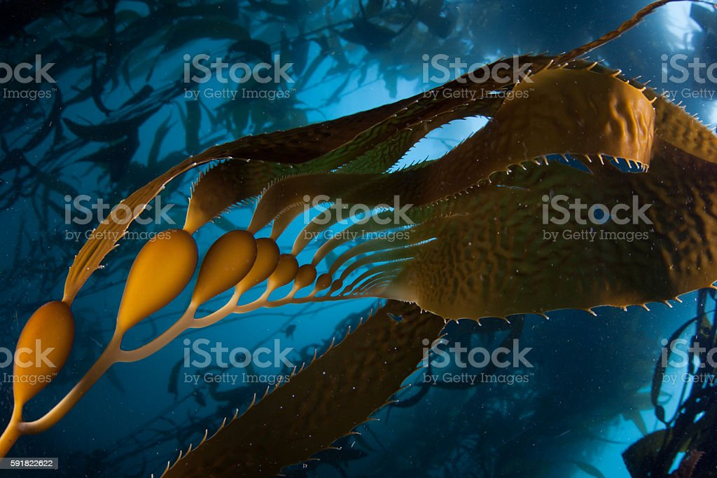 Giant Kelp Forest in California stock photo