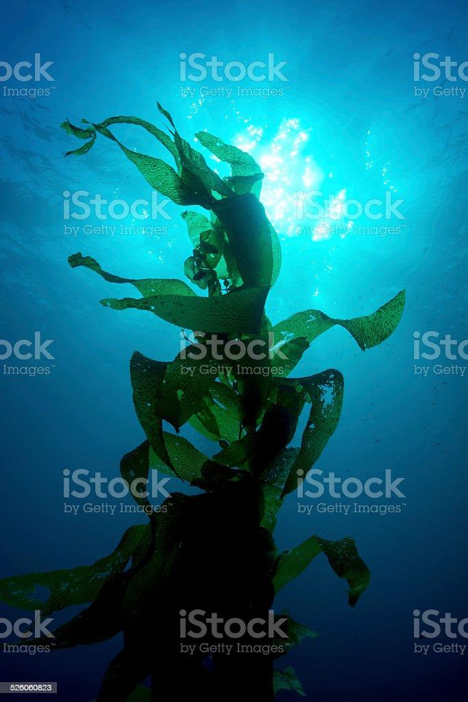 Giant kelp stock photo