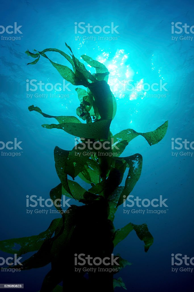 Giant kelp stock photo