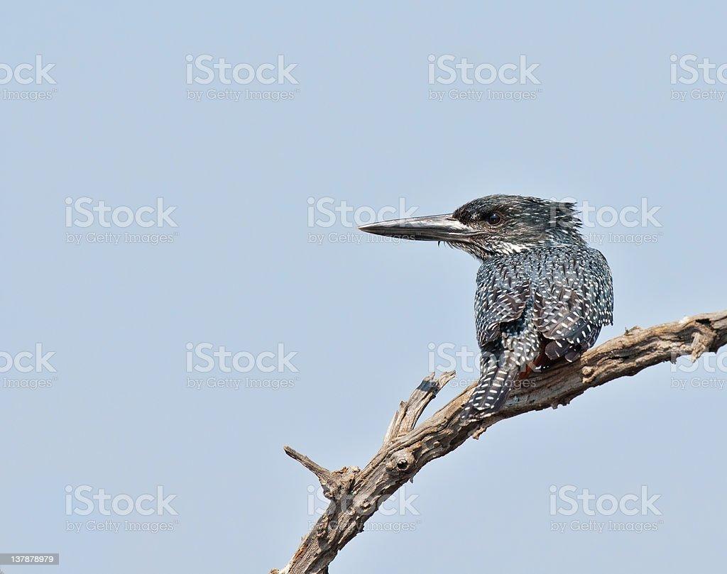 Giant Kingfisher zbiór zdjęć royalty-free