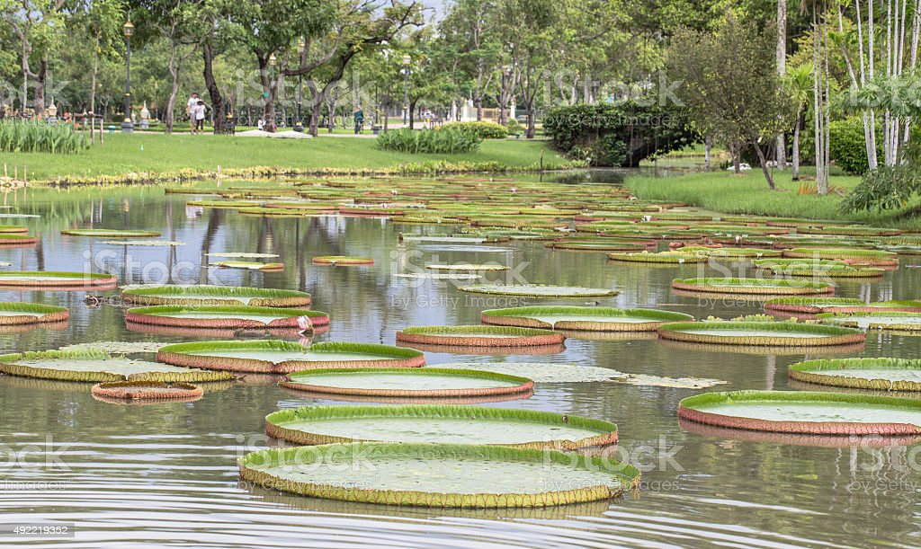 Giant leaves of the Victoria waterlily in pool stock photo
