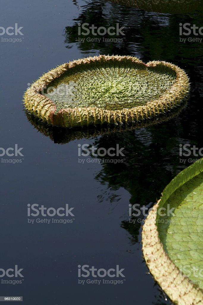 Giant Lily Pads royalty-free stock photo