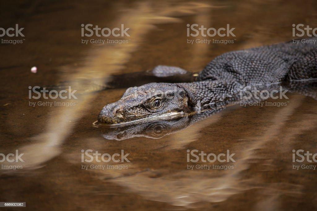 Giant lizard floats down the river on the Tioman island stock photo