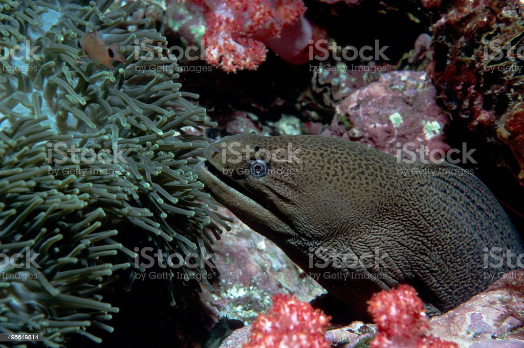 Giant Moray Eel and Anenome Fish (Side Shot) - Myanmar royalty-free stock photo