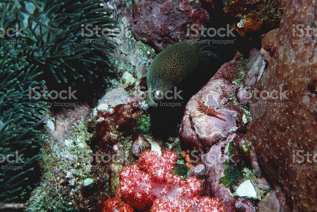 Giant Moray Eel and Durbin Hinge-Beak Shrimp - Myanmar royalty-free stock photo
