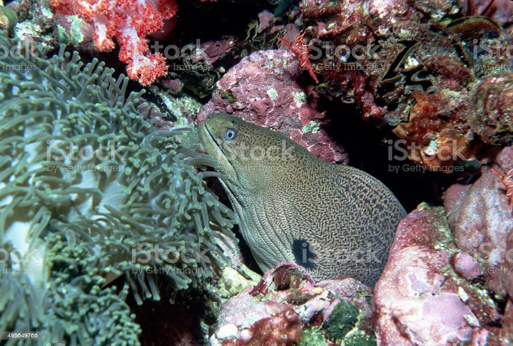 Giant Moray Eel and Durbin Hinge-Beak Shrimp - Myanmar royalty-free stock photo