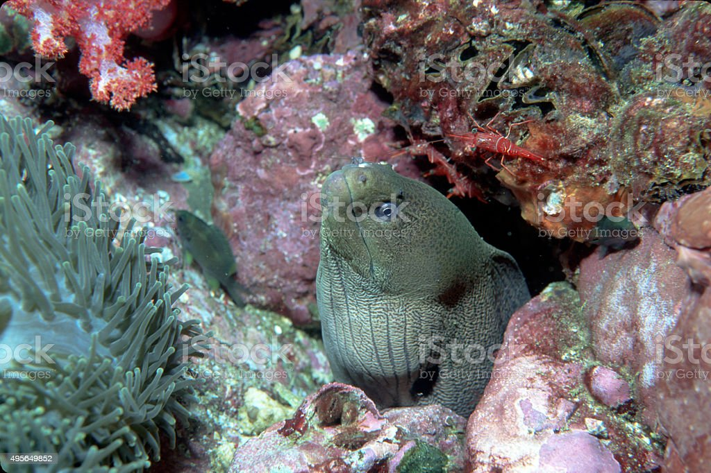 Giant Moray Eel and two Durbin Hinge-Beak Shrimp - Myanmar royalty-free stock photo