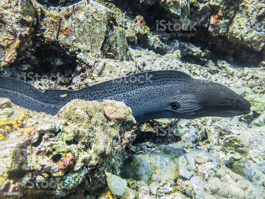Giant Moray Eel Fish Swimming Reef stock photo