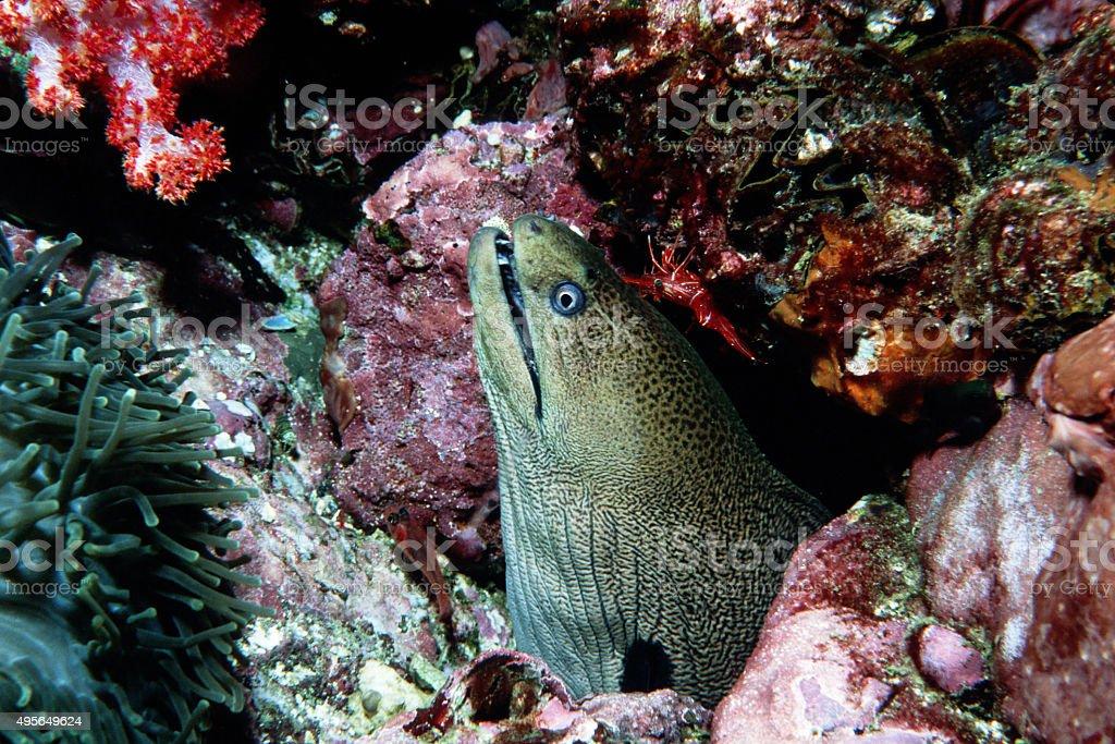 Giant Moray Eel (Looking Up) - Myanmar royalty-free stock photo