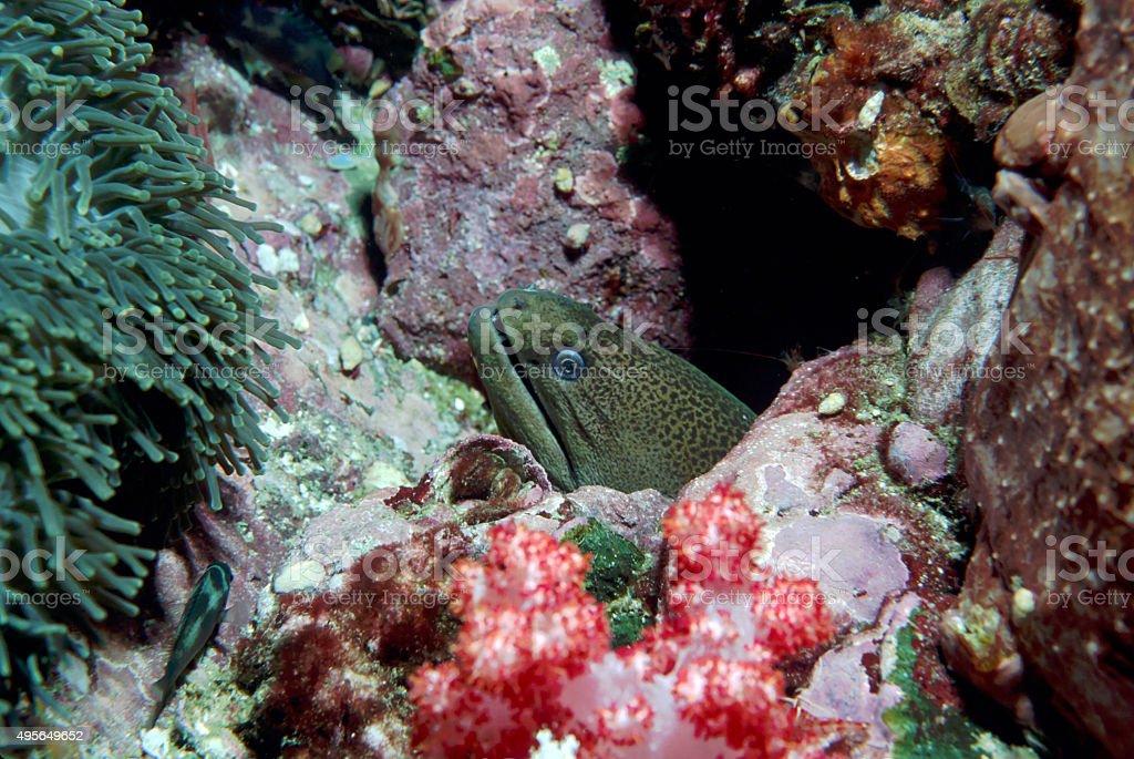 Giant Moray Eel (Side Head Shot) - Myanmar royalty-free stock photo