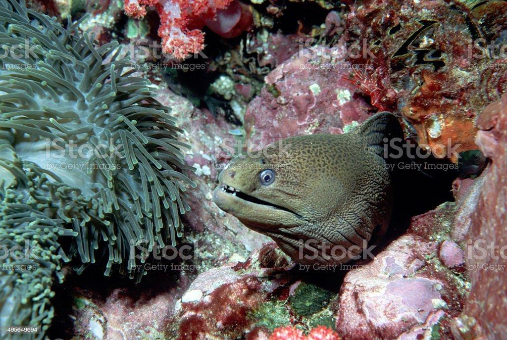 Giant Moray Eel (Smile) - Myanmar royalty-free stock photo