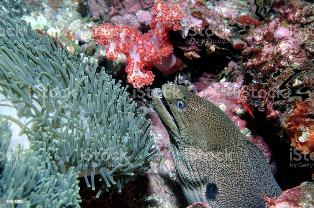 Giant Moray Eel - Myanmar.jpg royalty-free stock photo