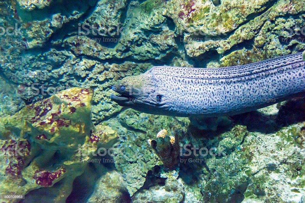 Giant moray eel (Gymnothorax javanicus) stock photo