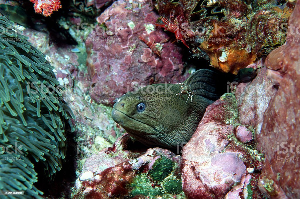 Giant Moray Eel with Cleaner Shrimp - Myanmar royalty-free stock photo