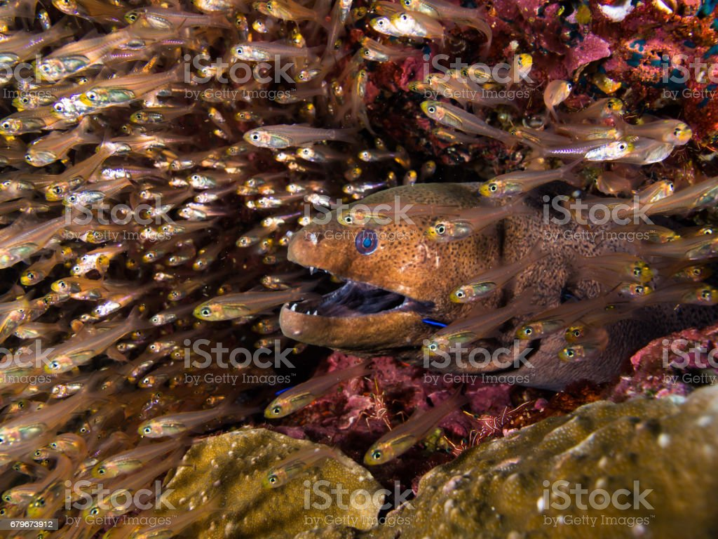 Giant moray in a school of glassfish stock photo