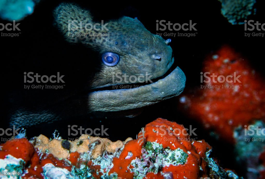 Giant Morey Eel - Thailand (In the shadows) royalty-free stock photo