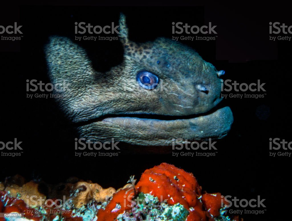 Giant Morey Eel - Thailand (Lurking) royalty-free stock photo