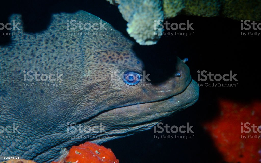 Giant Morey Eel - Thailand (Watching) royalty-free stock photo
