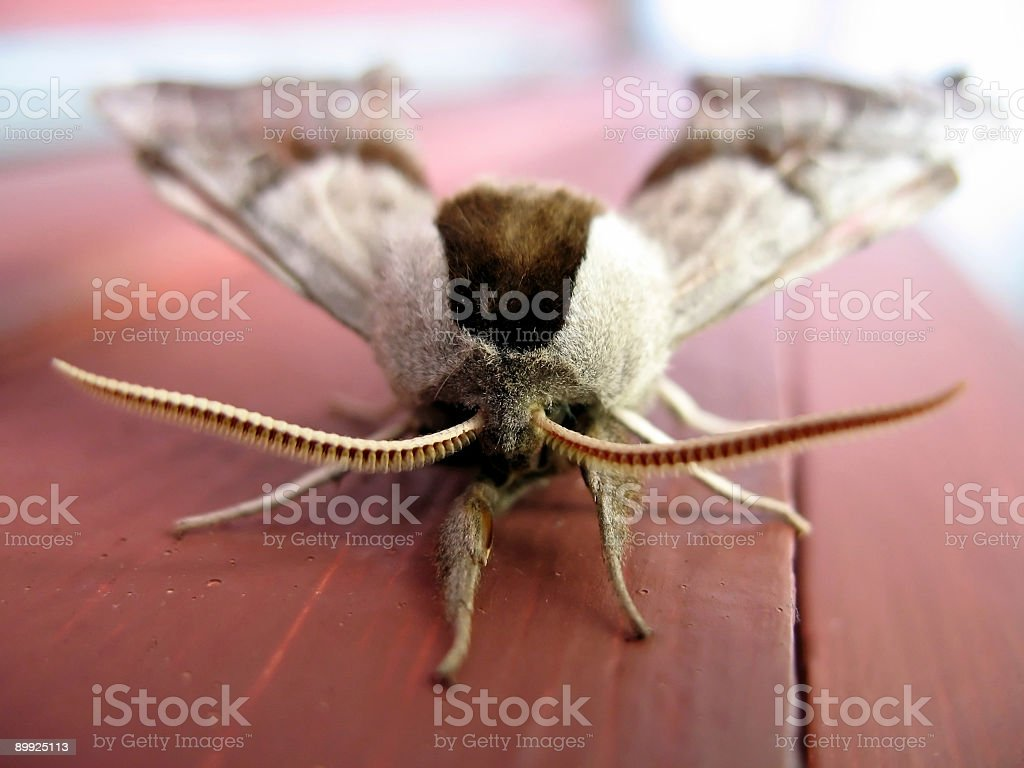 Giant Moth Macro royalty-free stock photo