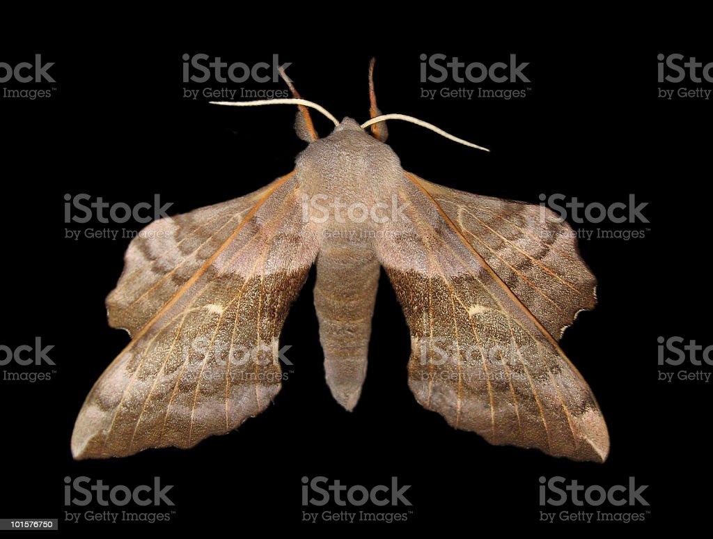 giant moth royalty-free stock photo