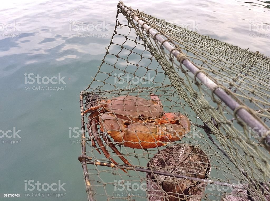 Giant mud crab stock photo