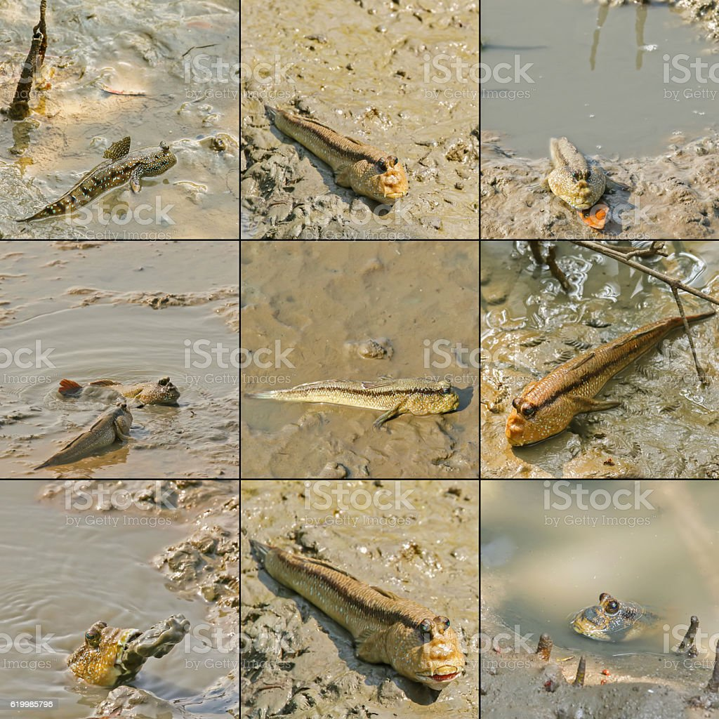 Giant mudskipper, Blue spotted mudskipper crawling with fins stock photo