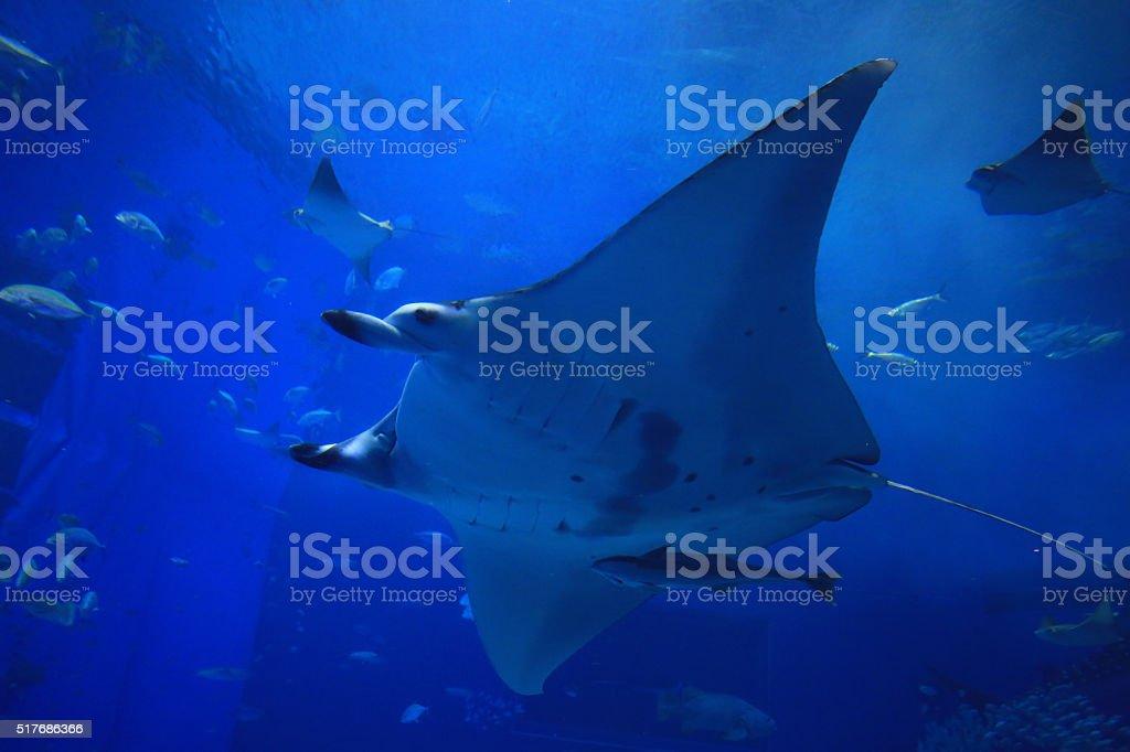 giant oceanic manta ray in the tank stock photo
